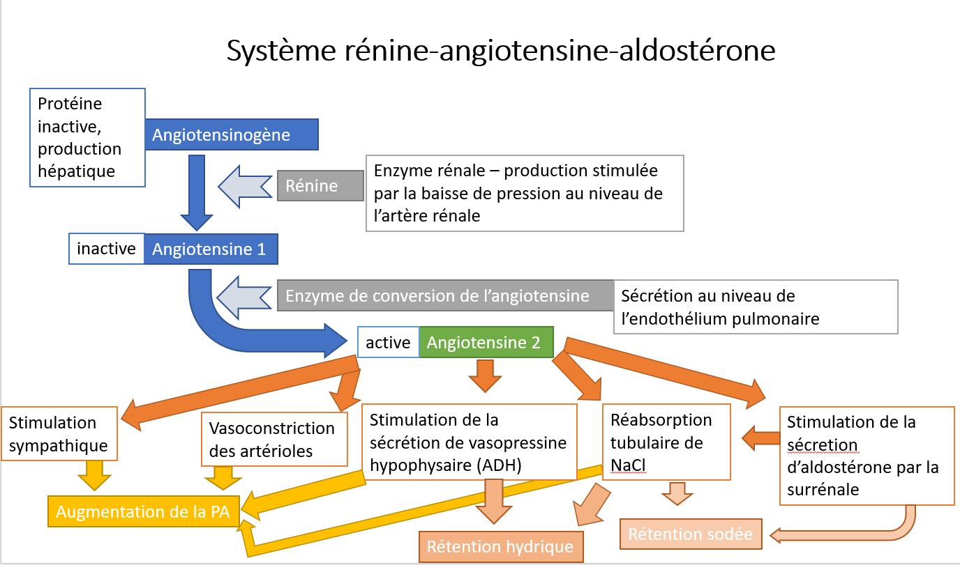 Systeme_renine-angiotensine-aldosterine